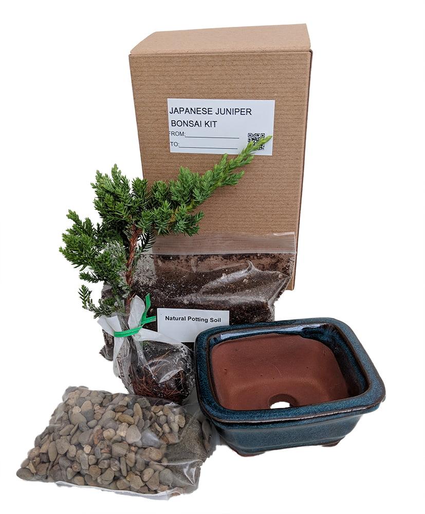 Bonsai Tree Gift Kit plus Live Japanese Juniper Tree by