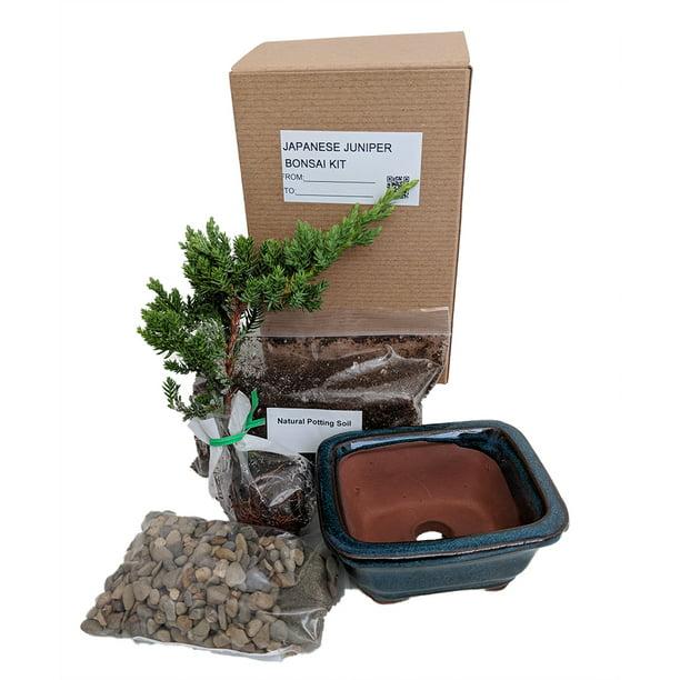 Bonsai Tree Gift Kit Plus Live Japanese Juniper Tree Ceramic Bonsai Pot Walmart Com Walmart Com