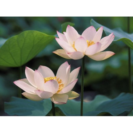 Lotus Flower in Blossom, China Print Wall Art By Keren Su Tranquil Lotus Blossom