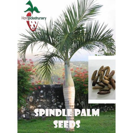 10 Spindle Palm seeds, ( Hyophorbe verschaffeltii ) from Hand Picked Nursery