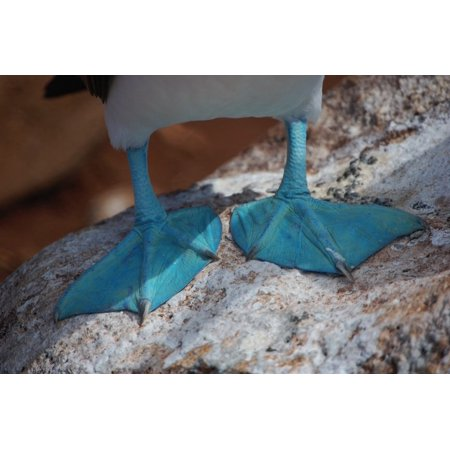 Canvas Print Webbed Blue-Footed Boobie Ecuador Duck Feet Stretched Canvas 10 x -