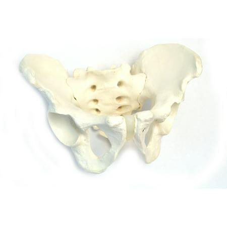 Male Pelvic Skeleton Anatomical Model, Medical Quality, Life Sized (11