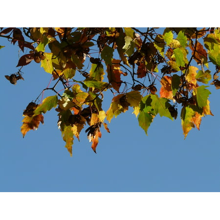 Canvas Print Small Leaf Fire Maple Fall Foliage Stretched Canvas 10 x 14