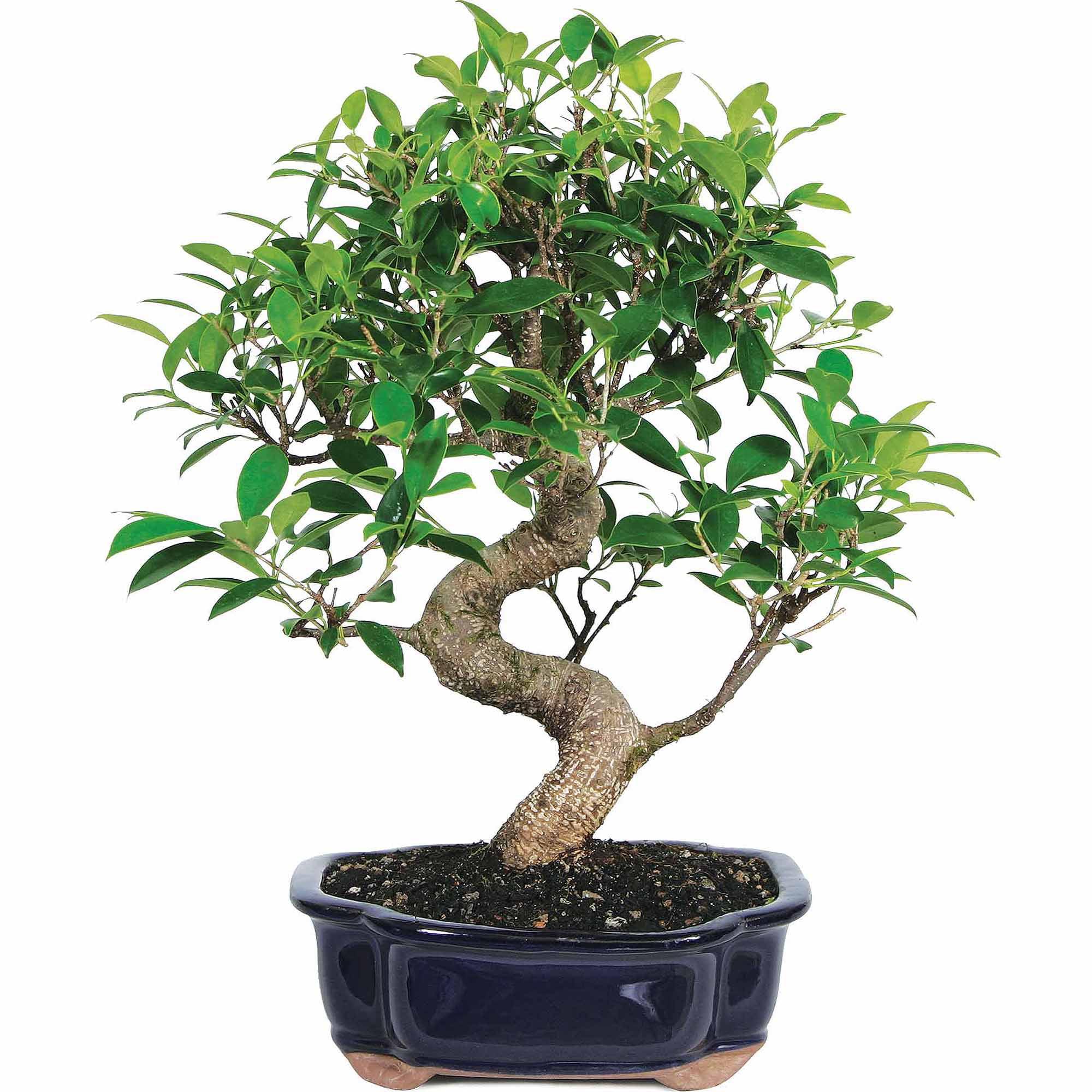 golden gate ficus bonsai tree by brussel 39 s bonsai at. Black Bedroom Furniture Sets. Home Design Ideas