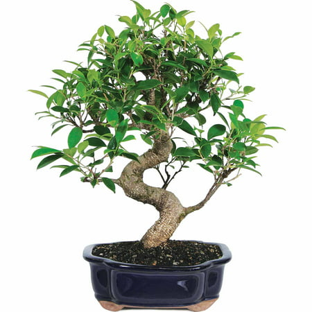 Brussels Bonsai Golden Gate Ficus Bonsai - Medium - (Indoor)