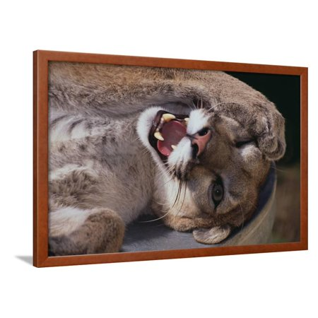 Mountain Lion with Paws on Face Framed Print Wall Art By DLILLC](Lion Paw Print)