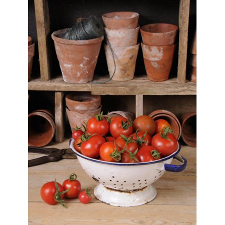 Freshly Picked Home Grown Tomatoes in Kitchen Colander in Rustic Potting Shed Setting, UK Print Wall Art By Gary Smith