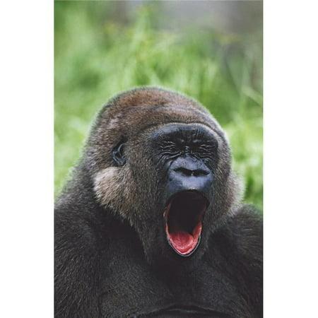 Western Gorilla Yawning Africa Poster Print, 24 x 38 - image 1 de 1