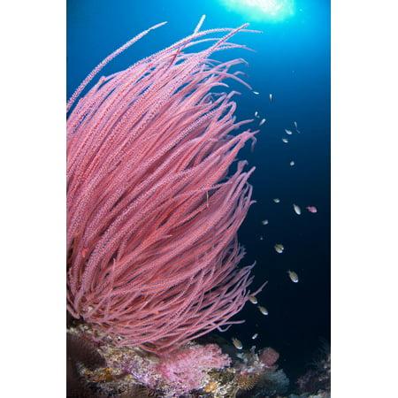 Red Whip Coral (Ellisella cercida) with small fish on reef, Kadola Island, Maluku Islands Print Wall Art By Colin Marshall