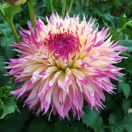 Dahlia Flower Bulbs (Pineland's Princess Fubuki Dahlia - Dinnerplate Fimbriata Flower - #1 Size)
