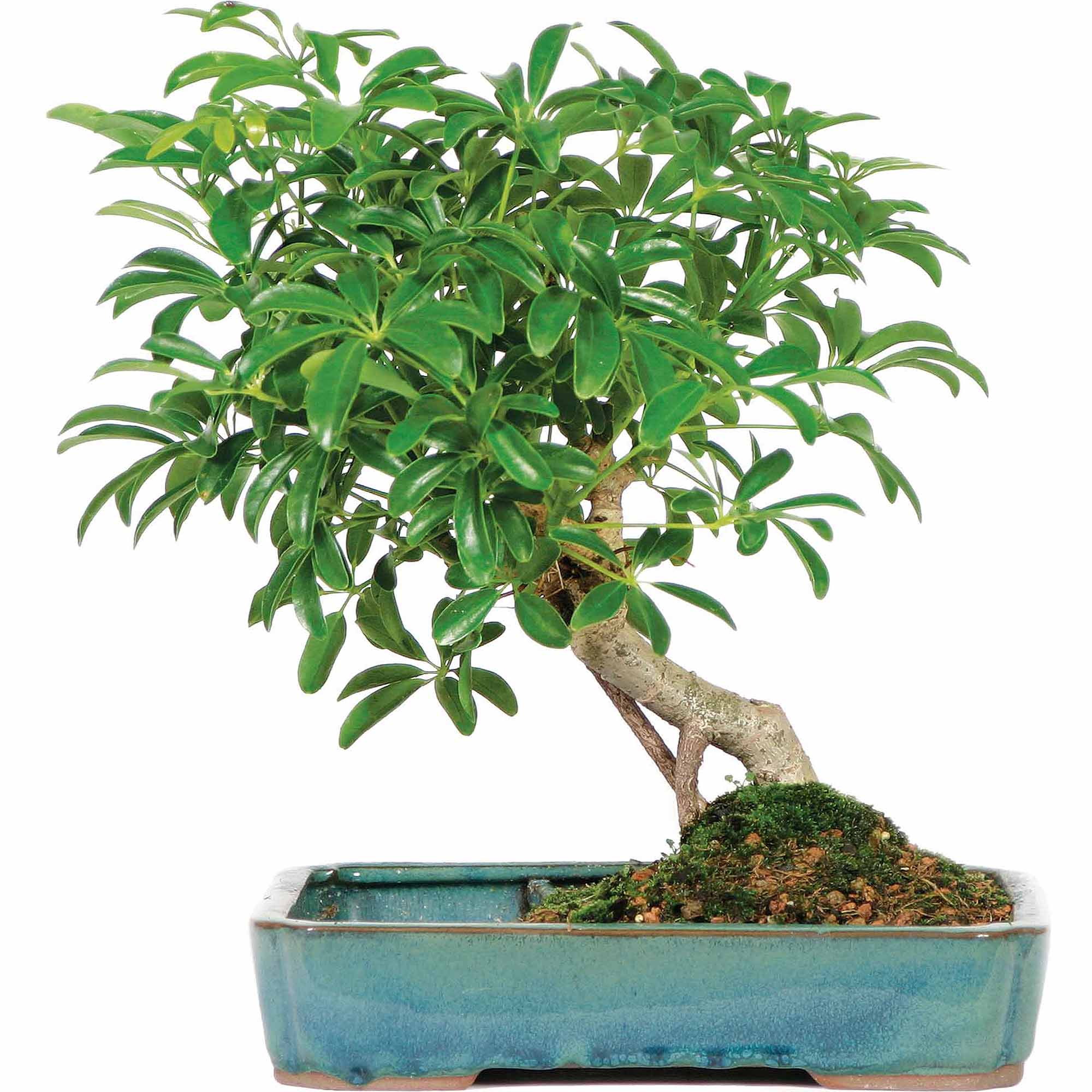 Brussel's Hawaiian Umbrella in Land Water Pot Bonsai Large (Indoor) by Brussel's Bonsai