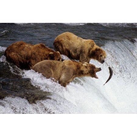 Grizzly Bears Alaska Poster Chasing Fish Waterfall Big Bite Brown Fur 24X36 (Alaska Fish)