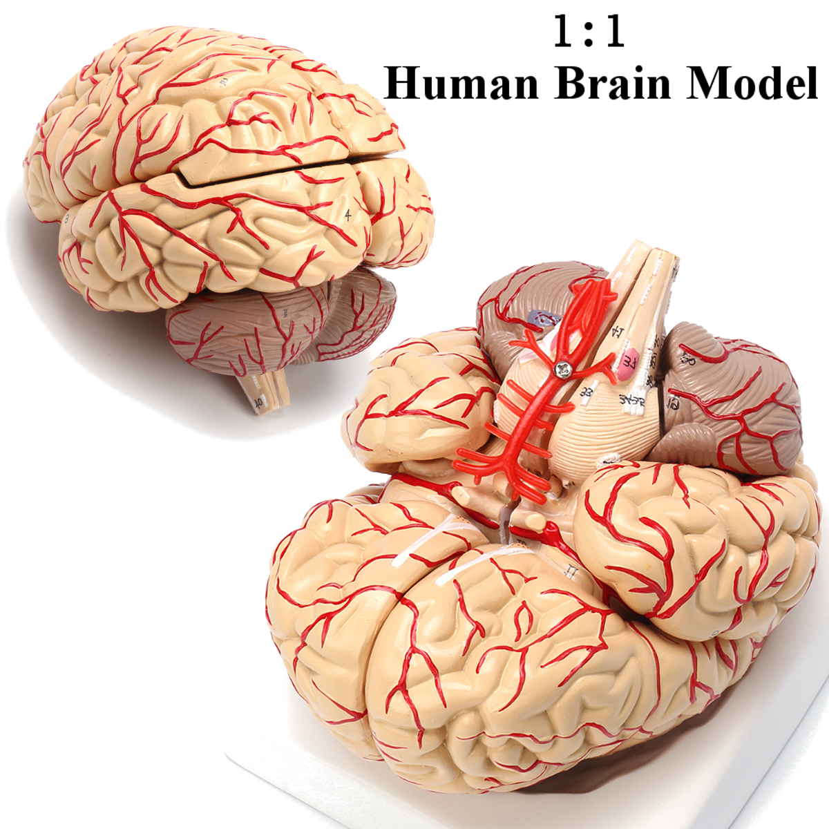 1:1 Human Anatomical Brain Professional Dissection Medical Teaching ...