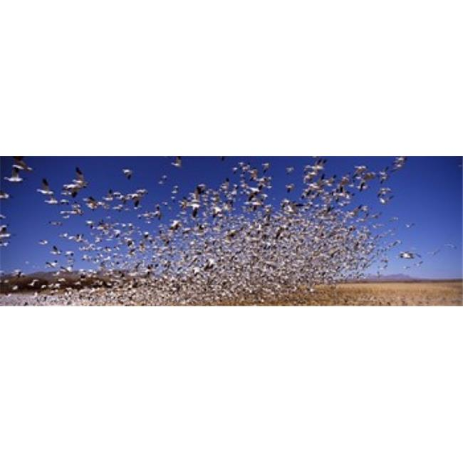 Flock of Snow geese flying  Bosque del Apache National Wildlife Reserve  Socorro County  New Mexico  USA Poster Print by  - 36 x 12 - image 1 of 1