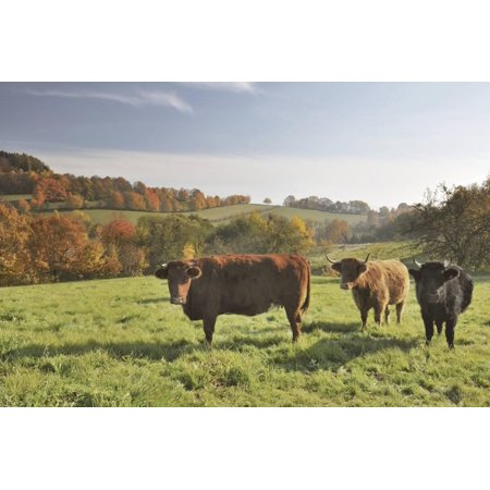 Cows, Autumn, Lindenfels (Town), Odenwald (Low Mountain Range), Hesse, Germany Print Wall Art By Raimund Linke