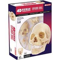 Exploded Human Skull Anatomy Model