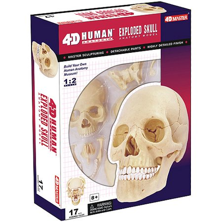 Skull Model (Exploded Human Skull Anatomy)