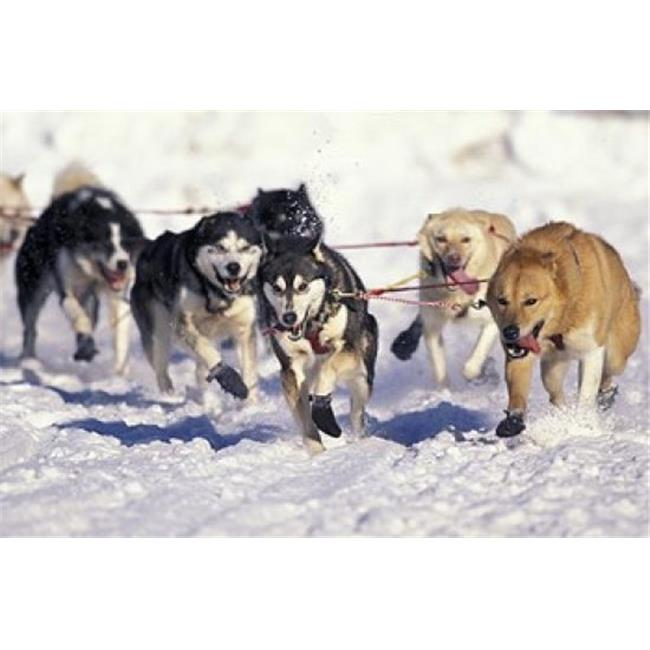 Posterazzi PDDUS02PSO0073 Iditarod Dog Sled Racing Through Streets of Anchorage Alaska USA Poster Print by Paul Souders - image 1 of 1