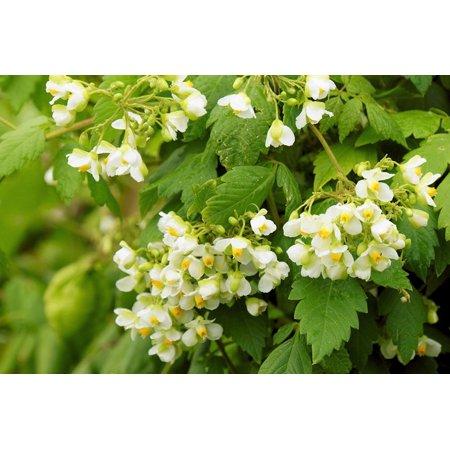 10 Seeds Love in a Puff - Balloon Vine seeds Cardiospermum halicacabum-Tropical Flower -Yellow-white Blooms - annual -perennial