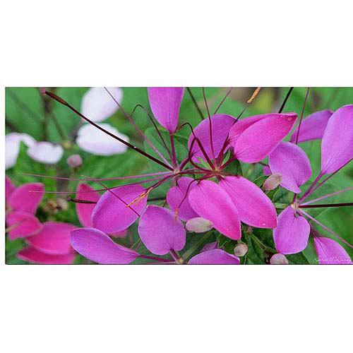 "Trademark Art ""Cleome II"" Canvas Art by Kathie McCurdy"