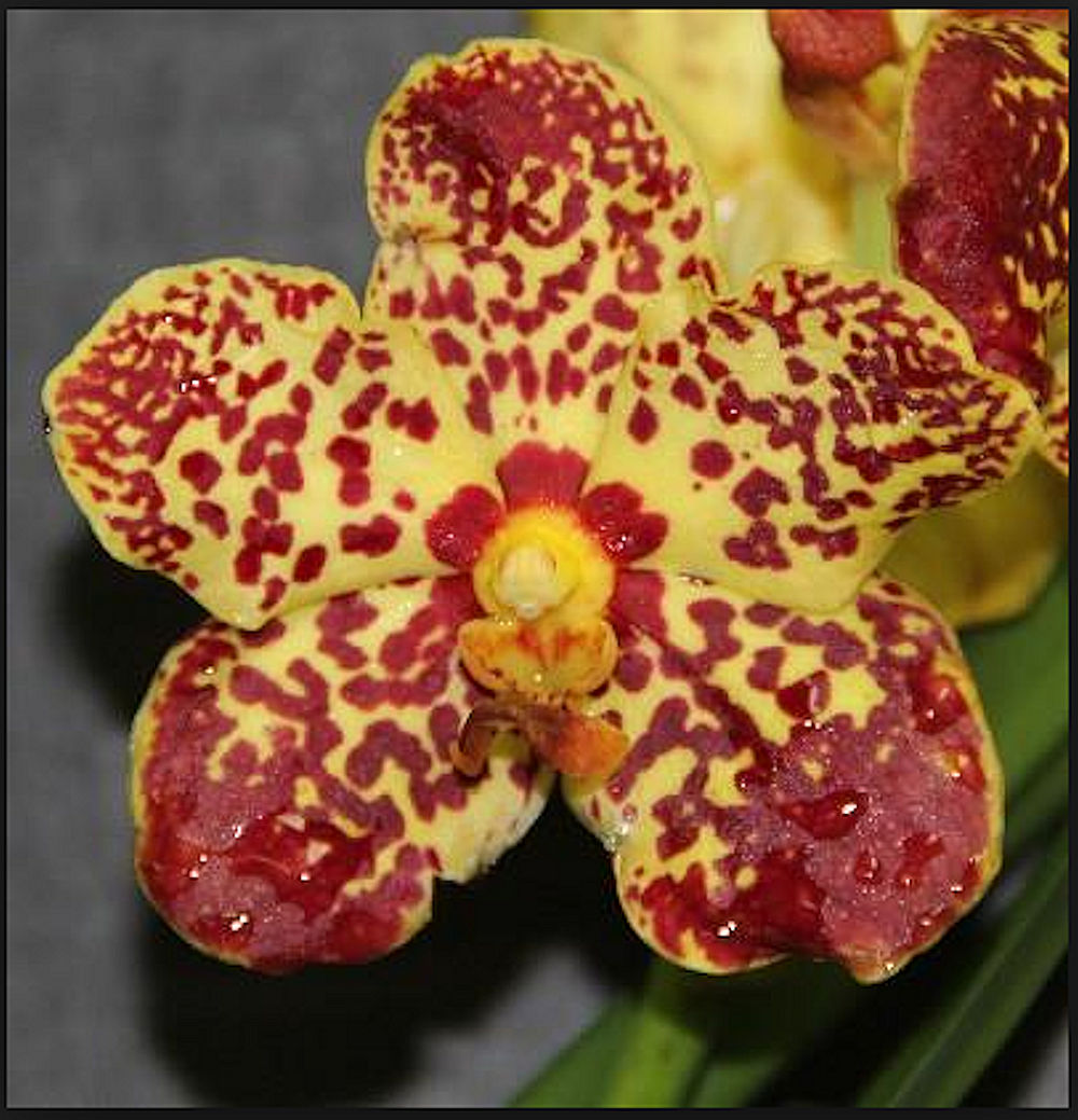 Orchid - Ascda Kalapana Delight Sunrise ….. Stock #308