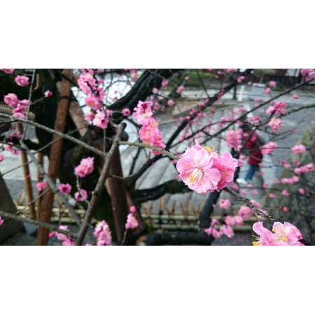 LAMINATED POSTER Japan Cherry Blossoms Pink Red Poster Print 24 x - Red Cherry Blossom