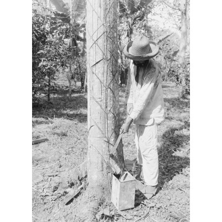 Tapping Rubber Tree with machete Poster Print