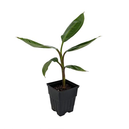 - Dwarf Cavendish Banana Plant - Musa - 5