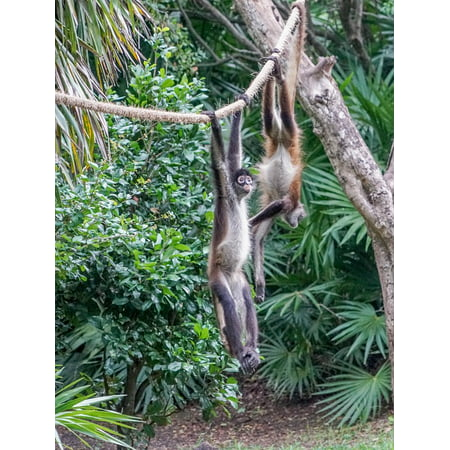 LAMINATED POSTER Wild Playing Xcaret Cute Spider Monkeys Primate Poster Print 24 x 36