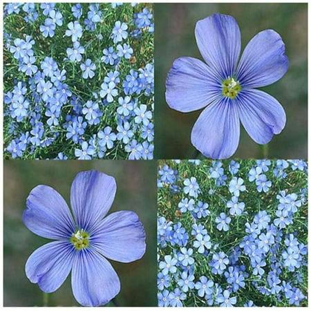 1500 X Blue Flax Flower Seeds Linum Lewisii Lewis Flax Seed