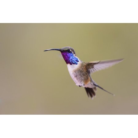 Lucifer Hummingbird, Calothorax Lucifer, male hovering Print Wall Art By Larry