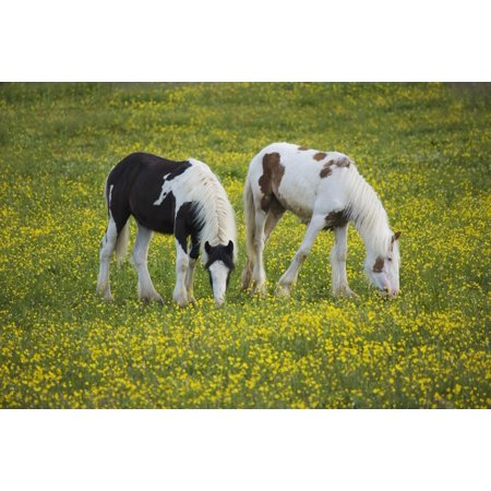 Horses Grazing County Tyrone Ireland Canvas Art - Gareth McCormack  Design Pics (19 x 12) (Horse Art Pic)