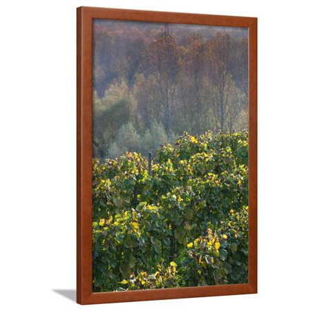Vineyards in autumn, Kaiserstuhl, Burkheim, Baden-Wurttemberg, Germany Framed Print Wall Art