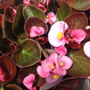 Image of Begonia