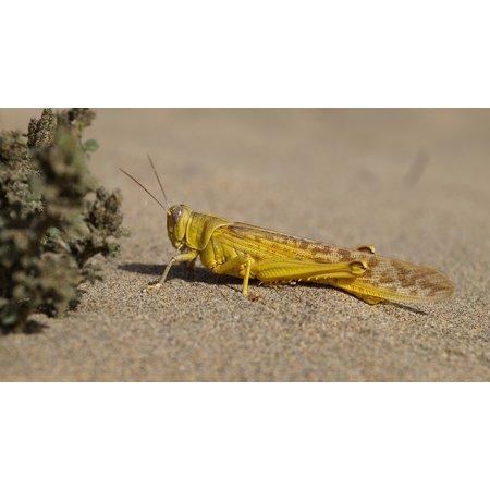 Framed Art For Your Wall Sand Grasshopper Beach Yellow Insect Desert Locust 10x13 Frame - Yellow Sand Beach
