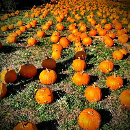October Halloween (LAMINATED POSTER Orange October Autumn Pumpkin Fall Halloween Poster 24x16 Adhesive)