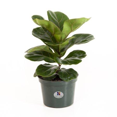 United Nursery Ficus Lyrata Pandurata Plant Fiddle Leaf Fig Live Outdoor Tree Indoor House Plant  6 inch Grower Pot ()