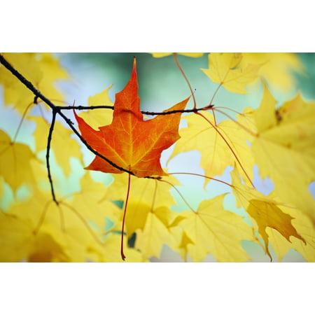 Oregon United States Of America An Orange Leaf Fallen On Yellow Leaves Canvas Art - Craig Tuttle  Design Pics (19 x 12)