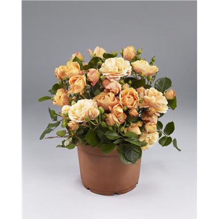 Parade Chantal Miniature Rose Bush - Fragrant/Hardy - 4