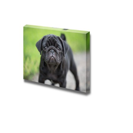 Canvas Prints Wall Art - Little Black Pug Puppy Dog Cute Pet/Animal Photograph | Modern Wall Decor/Home Decoration Stretched Gallery Canvas Wrap Giclee Print & Ready to Hang - 16