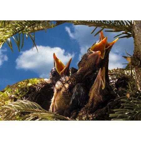 LAMINATED POSTER Bird Hunger Nest Feed Blackbird Hatching Boy Poster Print 24 x 36