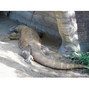 Reptile Komodo Komodo Dragon Giant Lizard Dragon-20 Inch By 30 Inch Laminated Poster With Bright Colors And Vivid Imagery-Fits Perfectly In Many Attractive Frames