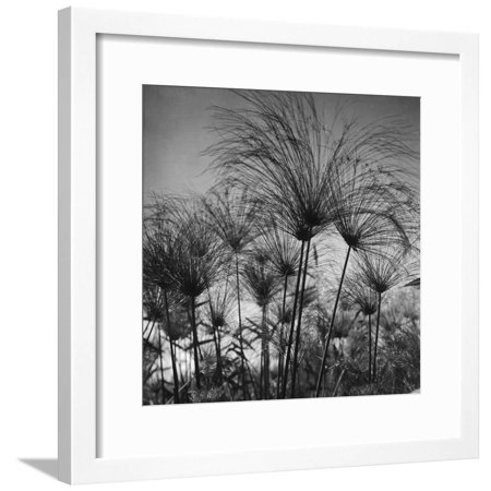Merom Core (Papyrus at Lake Merom Framed Print Wall Art By American Colony Photo )