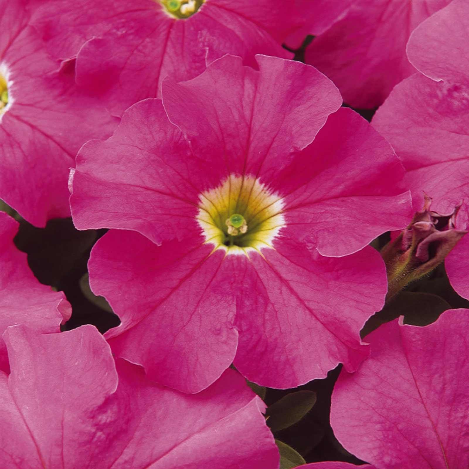 Petunia - Dream Series Flower Garden Seed - 1000 Pelleted Seeds - Midnight Color Flowers - Annual Blooms - Single Grandiflora Petunias