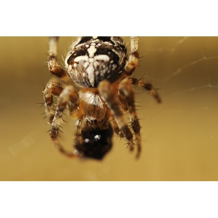 LAMINATED POSTER Lunch Dining Cross Spider Spider Poster Print 24 x 36