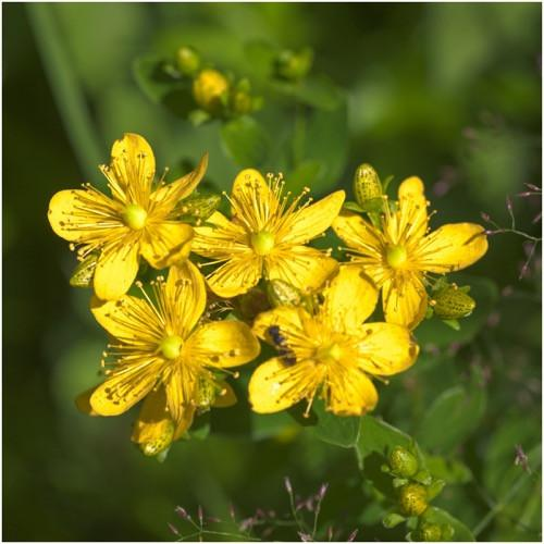 Packet of 1,000 Seeds, St. Johns Wort (Hypericum perforatum) Non-GMO Seeds By Seed Needs