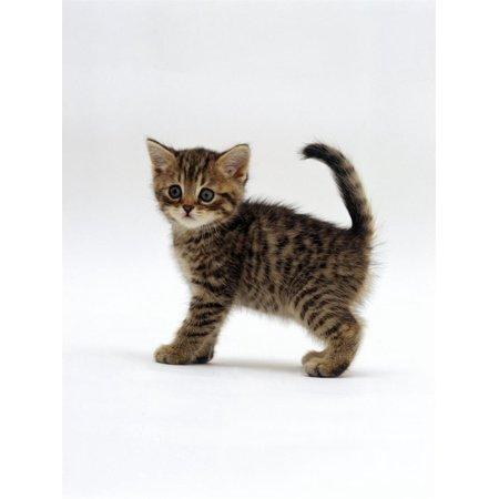 Domestic Cat, 6-Week Tabby Chinchilla Crossed with British Shorthair Kitten Print Wall Art By Jane Burton