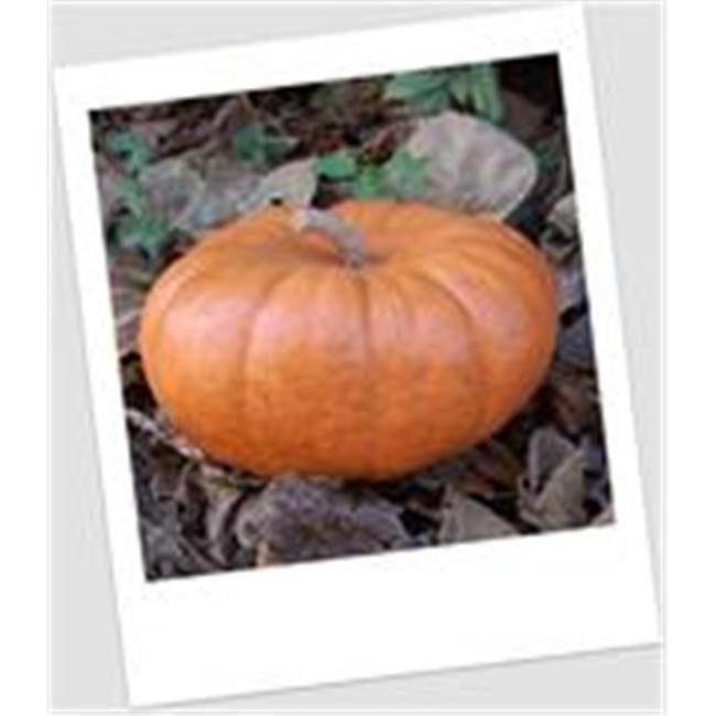 Craft-Tex PUM 4 Small Jarrahdale Pumpkin Fall Harvest