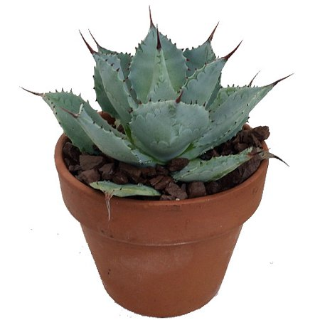 Tequila Blue Agave Cactus - 5