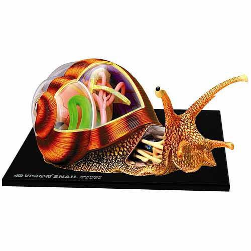 4D Snail Anatomy Model